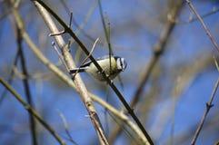 Blauwe die meesvogel op een boom in het UK wordt gefotografeerd stock foto's