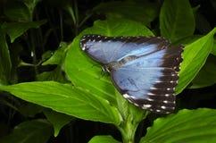 Blauwe die Morpho op blad wordt neergestreken Royalty-vrije Stock Foto