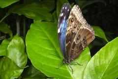 Blauwe die Morpho op een groen blad wordt neergestreken Stock Foto