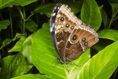Blauwe Morpho die op een groen blad wordt neergestreken Stock Fotografie