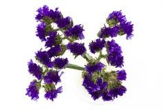 Blauwe die Statice-bloem op witte achtergrond wordt ge?soleerd stock foto
