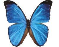 Blauwe die vlinder op wit wordt geïsoleerd royalty-vrije stock foto's