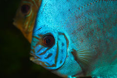 Blauwe Discus in Aquarium Stock Afbeeldingen