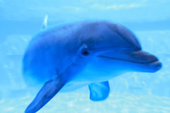Blauwe dolfijn onderwater Royalty-vrije Stock Fotografie
