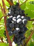 Blauwe druif Royalty-vrije Stock Afbeelding