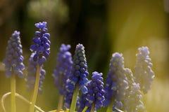 Blauwe druifjes, Druivenhyacint, Muscari botryoides royalty-vrije stock foto's