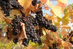 Blauwe druiven stock afbeelding
