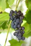 Blauwe druiven klaar voor oogst Stock Afbeelding
