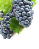 Blauwe druiven met groen blad Royalty-vrije Stock Foto's
