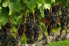 Blauwe Druiven op de Wijnstok Stock Afbeeldingen