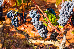 Blauwe Druiven op de Wijnstok Royalty-vrije Stock Foto