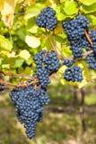 Blauwe druiven in wijngaard Royalty-vrije Stock Foto