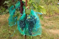 Blauwe druivenbossen in beschermende zakken tegen schade langs te beschermen Stock Afbeeldingen