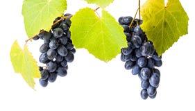 Blauwe druivenclusters op wit stock afbeeldingen