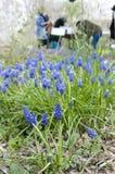 Blauwe druivenhyacint stock foto