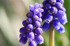 Blauwe druivenhyacint Royalty-vrije Stock Afbeelding