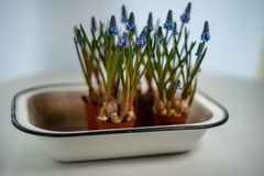 Blauwe Druivenhyacint, Muscari-armeniacumbloemen in witte uitstekende emailkom royalty-vrije stock foto's