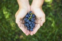 Blauwe druivenoogst in landbouwershanden op grasachtergrond Stock Fotografie