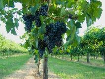 Blauwe druivenwijngaard Royalty-vrije Stock Afbeeldingen
