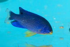 Blauwe Duivel Damselfish in Aquarium Royalty-vrije Stock Afbeeldingen