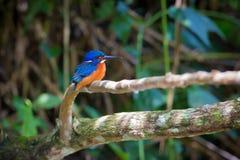 Blauwe eared ijsvogel in Kaoyai Thailand Royalty-vrije Stock Foto