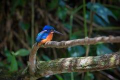 Blauwe eared ijsvogel in Kaoyai Thailand stock fotografie