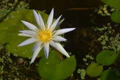Blauwe Egyptische lotusbloem royalty-vrije stock fotografie