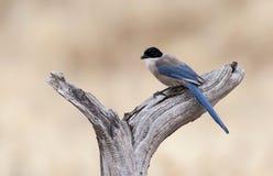 Blauwe Ekster,天蓝色飞过的鹊, Cyanopica cyanus 库存图片