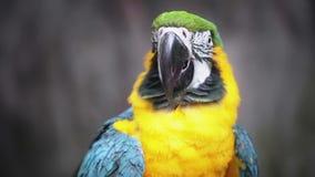 Blauwe en Gele Ara stock videobeelden