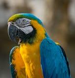 Blauwe en Gele Ara royalty-vrije stock afbeelding