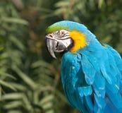 Blauwe en Gele Ara. Royalty-vrije Stock Foto's