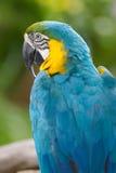Blauwe en Gele Ara Royalty-vrije Stock Afbeeldingen