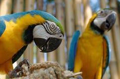 Blauwe en Gele Ara Stock Foto's