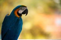 Blauwe en Gele Ara Stock Afbeeldingen