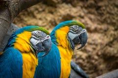 Blauwe en Gele Ara stock afbeelding
