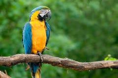 Blauwe en gele ara (ararauna van Aronskelken) Stock Afbeeldingen