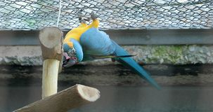 Blauwe en Gele Ara die ondersteboven hangen stock video