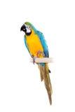 Blauwe en Gele Ara op de witte achtergrond Royalty-vrije Stock Fotografie