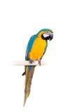 Blauwe en Gele Ara op de witte achtergrond Royalty-vrije Stock Afbeeldingen
