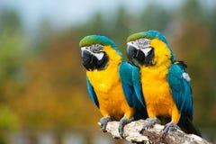 Blauwe en gele ara's (ararauna van Aronskelken) Royalty-vrije Stock Foto