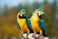 Blauwe en gele ara's (ararauna van Aronskelken) Royalty-vrije Stock Afbeelding