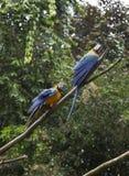 Blauwe en Gele Ara's, Aronskelkenararauna Stock Foto's