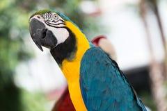 Blauwe en Gele Arapapegaai - Aronskelkenararauna Royalty-vrije Stock Foto
