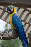 Blauwe en gele aravogel Royalty-vrije Stock Fotografie
