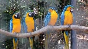 Blauwe en Gele die Ara vier op een Boomtak wordt neergestreken stock video