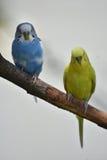 Blauwe en Gele Gemeenschappelijke Parkieten die op een Tak zitten Royalty-vrije Stock Afbeelding