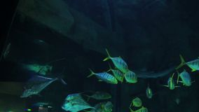Blauwe en gele gestreepte vissen in het aquarium algemeen plan stock video