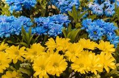 Blauwe en gele madeliefjes Royalty-vrije Stock Afbeelding