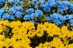 Blauwe en gele madeliefjesbloemen Stock Fotografie