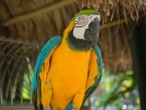 Blauwe en Gele Papegaai in Aruba stock fotografie